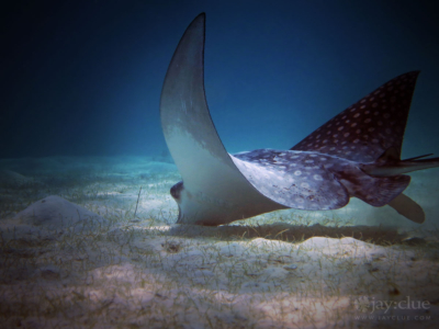 Juvenile Eagle Ray in Akumal, Mexico. Photo by Jay Clue