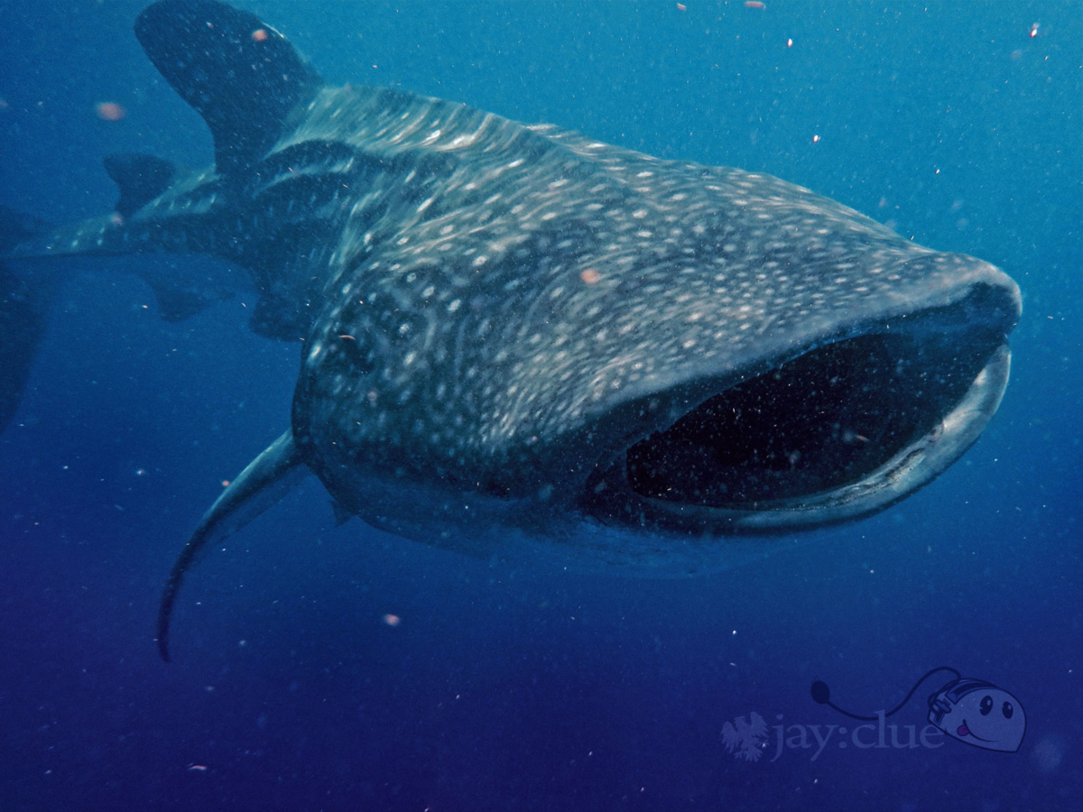 Diving with Whale Sharks in Mexico. Photo by Jay Clue