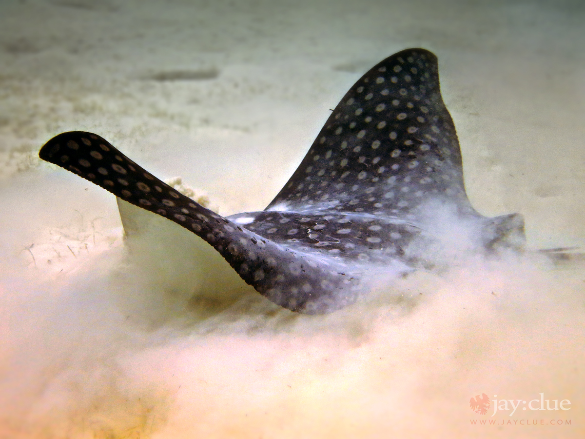 Eagle Ray searching for food in the sand. Cozumel, Mexico
