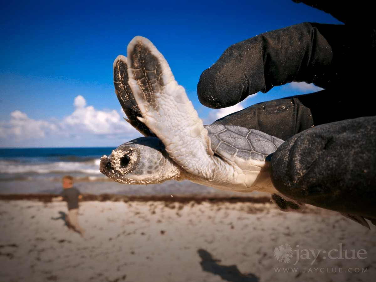 Volunteering to help rescue baby Loggerhead sea turtles in Cozumel Mexico