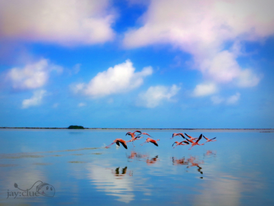 Flamingos taking flight over Rio Lagartos