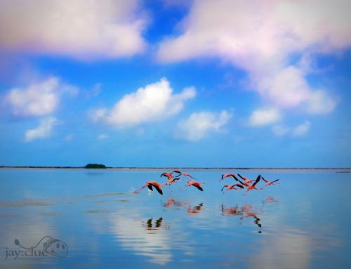 Flamingos Rio Lagartos