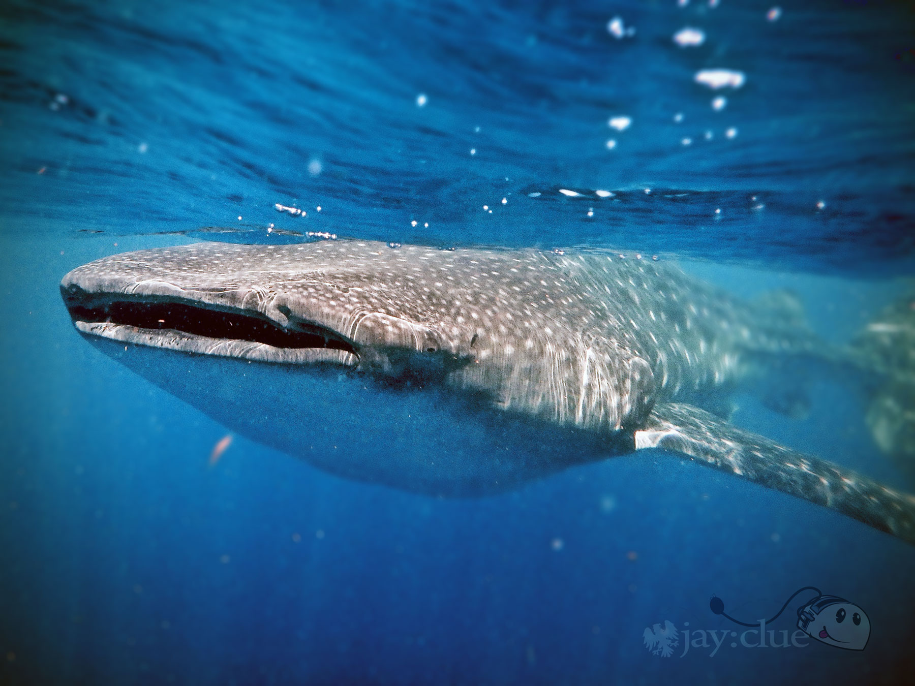 Whale Shark at Isla Contoy, Mexico. Photo by Jay Clue