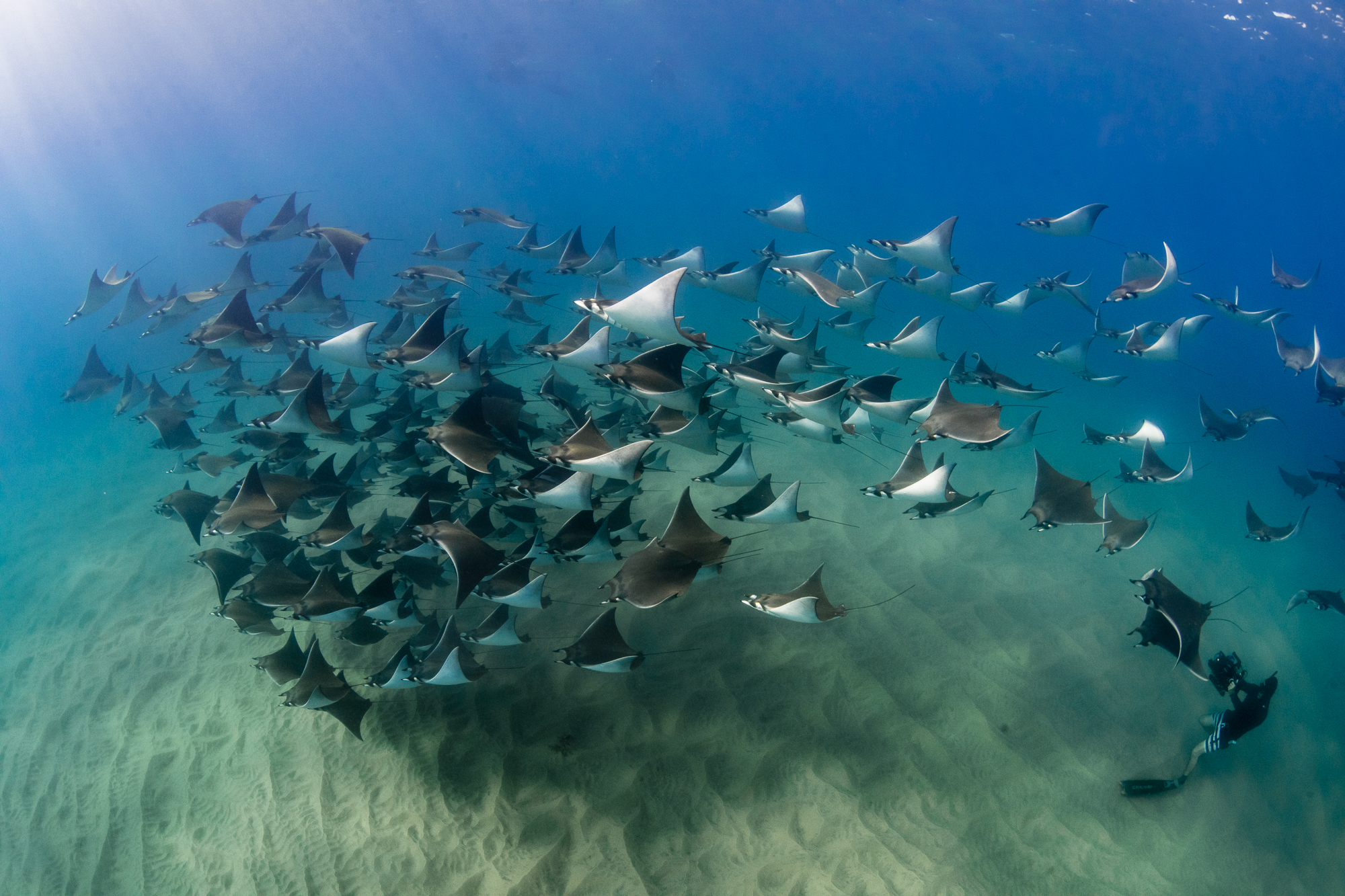 Diving with the Mobula rays of Baja California Sur Mexico with Dive Ninja Expeditions and Jay Clue