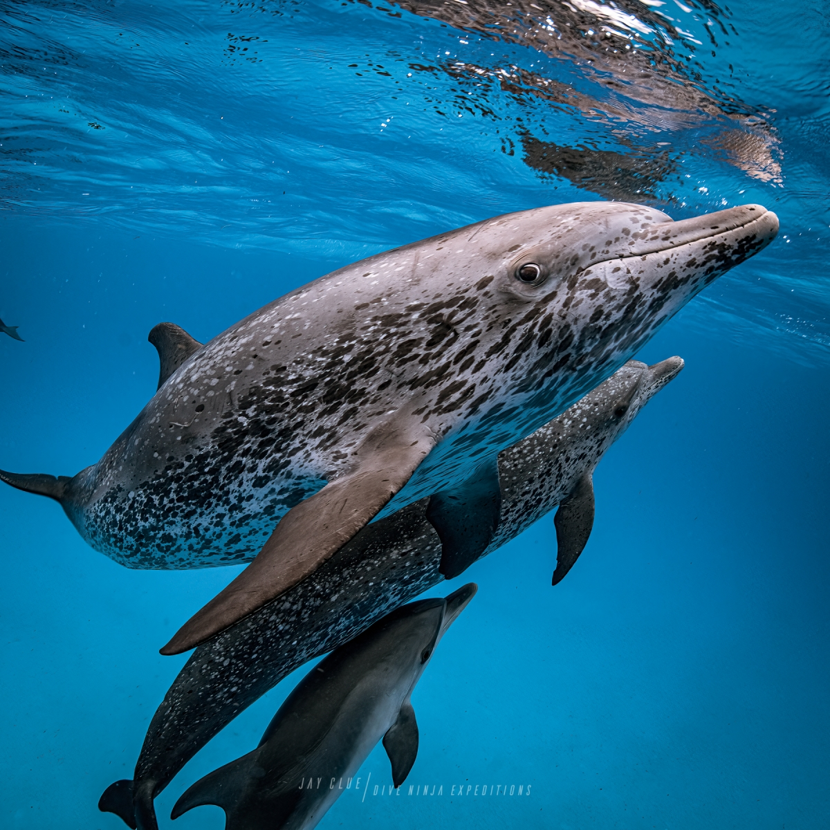 Atlantic spotted dolphins in Bimini. Photo by Jay Clue